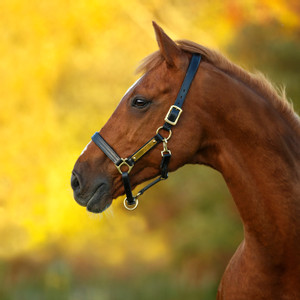 Horseware Amigo Amigo Padded Headcollar